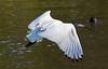 White Ibis (2)