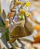 Brown Honeyeater (5)