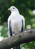 Torres Strait Pigeon