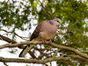 Spotted Dove (2)