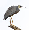 White Faced Heron (13)