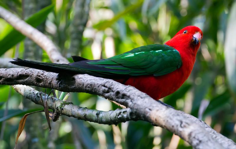 Australian king parrot (4)