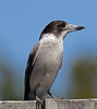 Grey Butcher Bird (2)