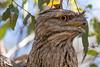 Tawny Frogmouth (9)