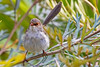 Superb Fairy Wren female (2)