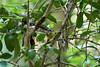Pale Yellow Robin (2)