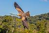Square tailed Kite