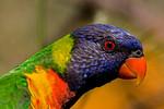 Rainbow Lorikeet (4)