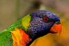 Rainbow Lorikeet (4)