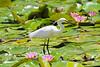 Little Egret (7)