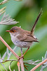 Superb Fairy Wren female (5)