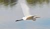 Intermediate Egret (2)