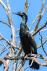 Little Black Cormorant (1)