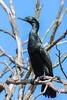 Little Black Cormorant (1)