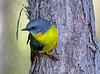 Eastern Yellow Robin (5)