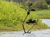 Little Black Cormorant Lift Off