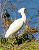 Royal Spoonbill (2)