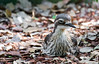 Bush Stone Curlew (7)