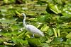 Intermediate Egret (9)