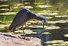 White faced Heron (2)