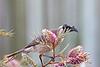 Noisy Friarbird 6
