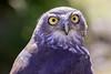 Barking owl (1)