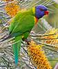 Rainbow lorikeet feeding on grevillia nectar
