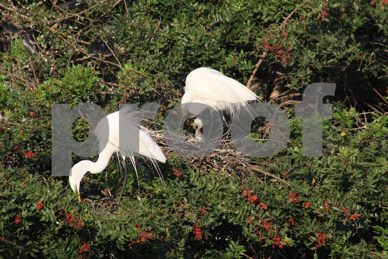 #11 Great White Egrets with young