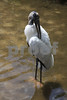 #42 Wood Stork