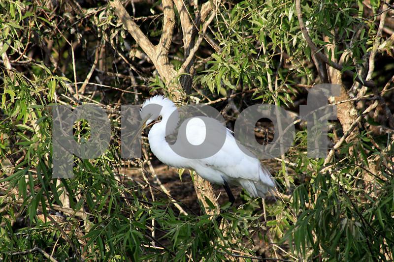 #10 Great White Egret