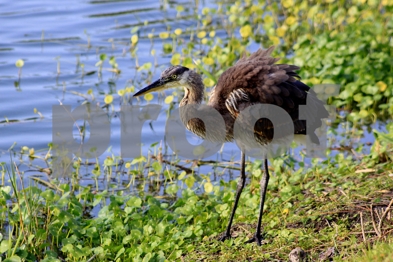 #23 Young Blue Heron