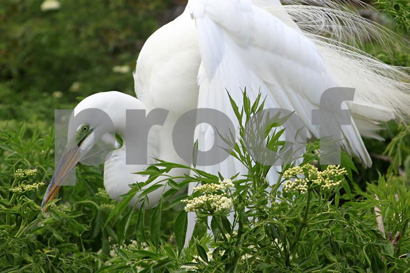 #8 Great White Egret