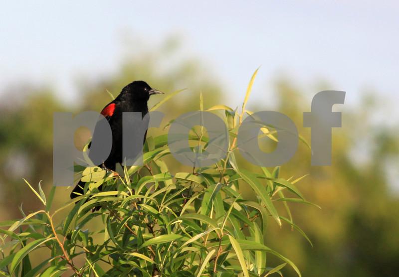 #32 Redwinged Blackbird