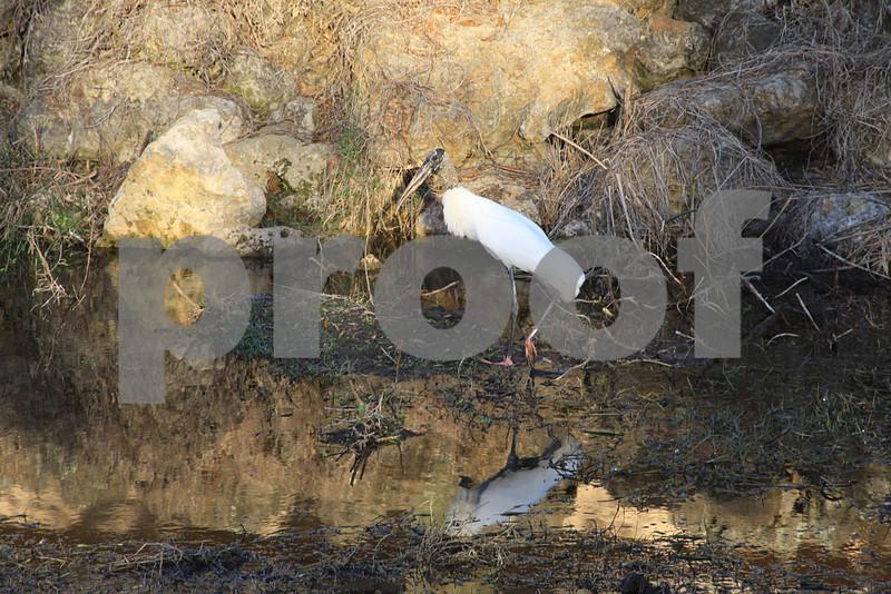 #45 Wood Stork