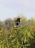 #33 Redwinged Blackbird