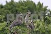 #22 Juvenile Blue Herons