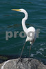 #7 Great White Egret
