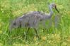 #39 Sandhill Crane