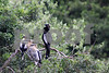 #31 Anhingas with Young
