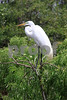 #6 Great White Egret