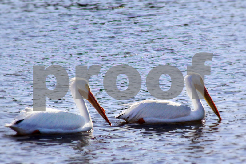 #51 White Pelican