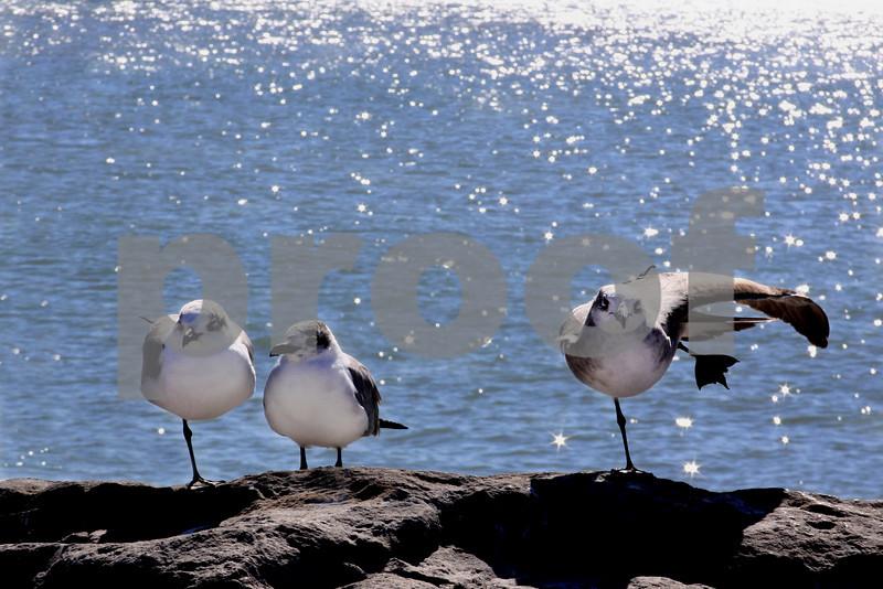 #40 Seagulls