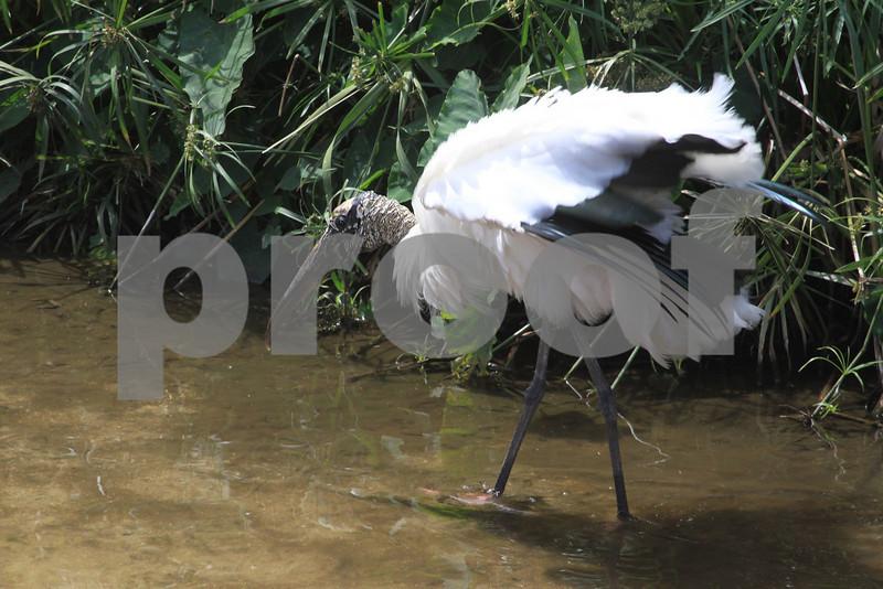 #44 Wood Stork
