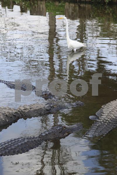 #41 Great White Egret With Alligators