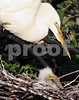 #2 Nesting Great White Egret with chick