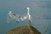 #16 Snowy Egrets