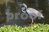 #20 Tricolor Heron