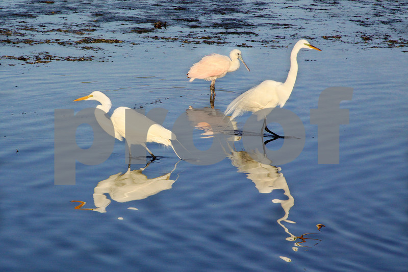 #9 Great White Egrets. Roseate Spoonbill