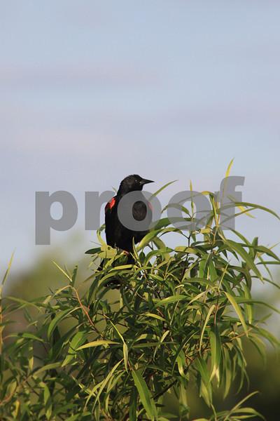 #34 Redwinged Blackbird