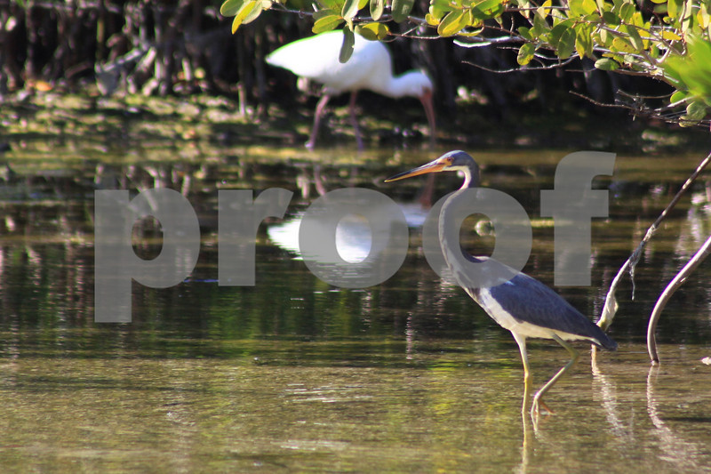 #18 Tricolor Heron with background Ibis